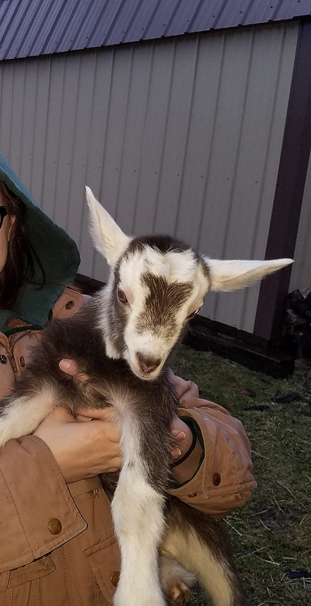 Goatzz: X-24's Homestead is Dairy Goat Breeder located in Columbiana