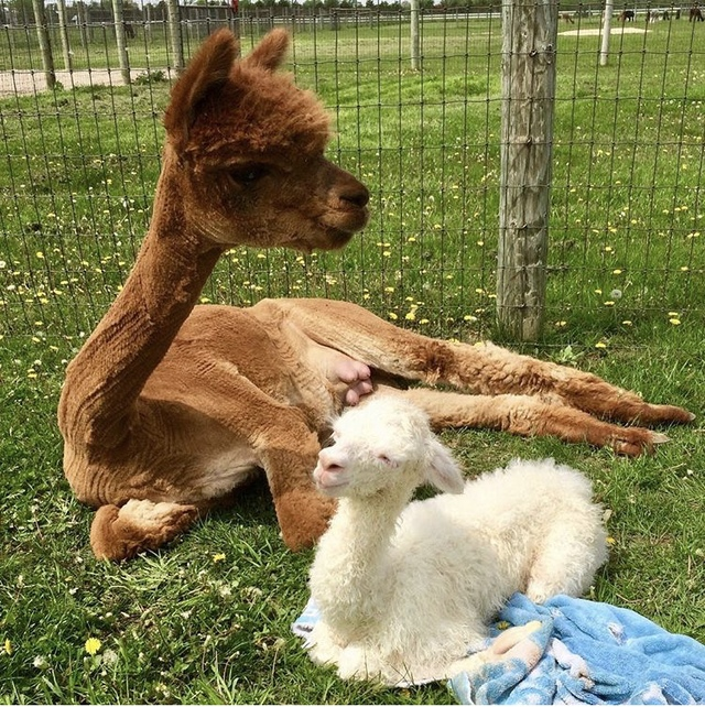 Festa and her newborn, Ginny, a few minutes after birth.