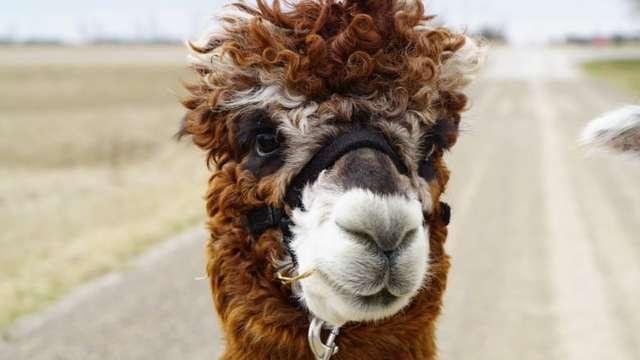 The reason millennials find alpacas so relatable