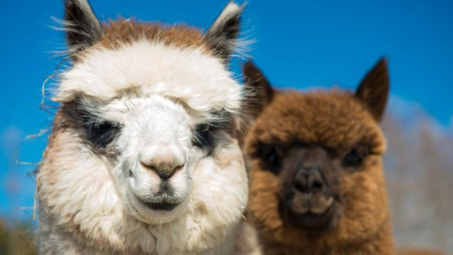 Could nanobodies from alpacas help CAR T-cell therapy to solid tumours?