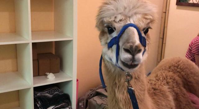 It's the adorable yoga class that can really 'alpaca' punch