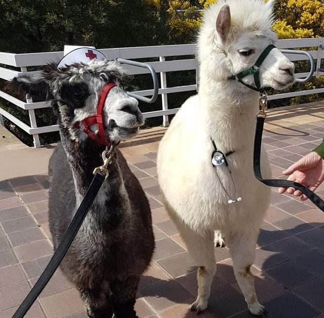 Investigation into alpaca attack suspended with dog and owner evading authorities