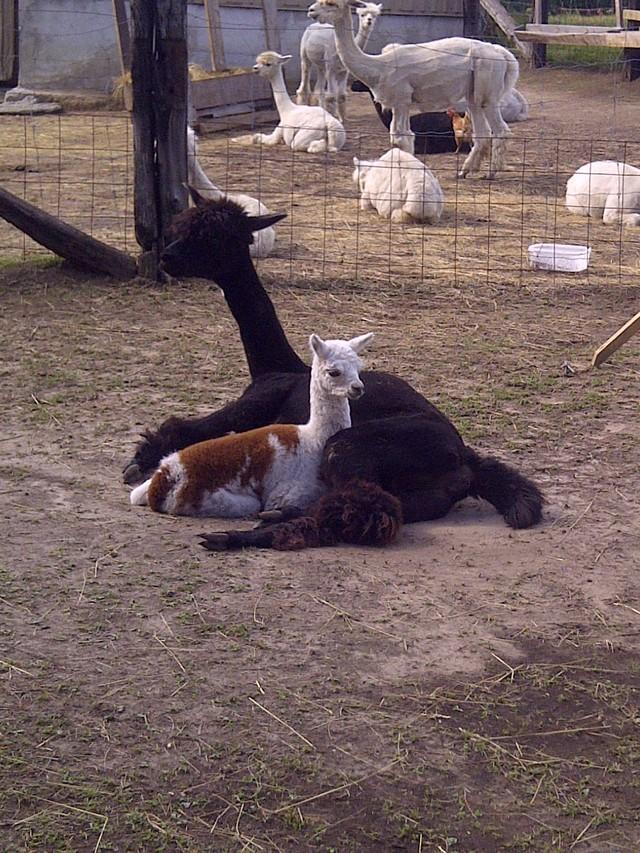 Come meet our alpacas