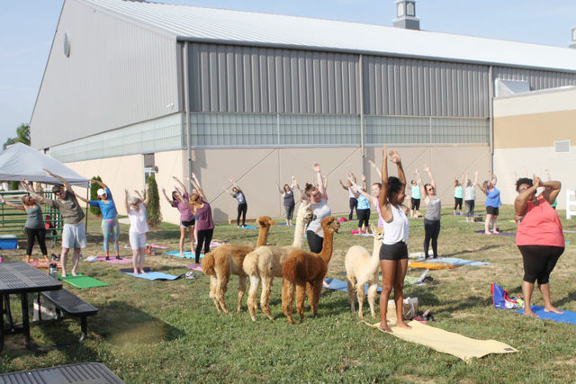 Wilson County Expo Center to host alpaca yoga class