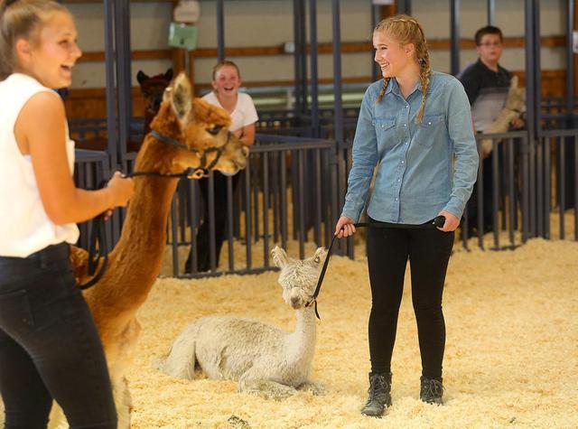 4-Hers show their skittish alpacas
