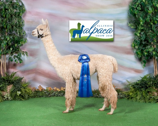 Pearl First Place American Alpaca ShowplaceShowplace