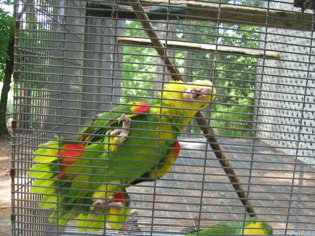 Double Yellowhead Amazon male