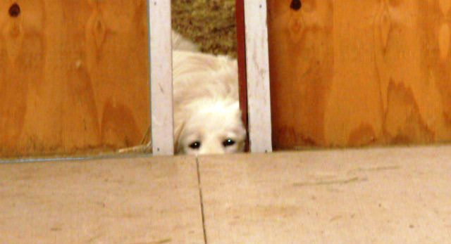 Livestock guardian dogs provide additional security