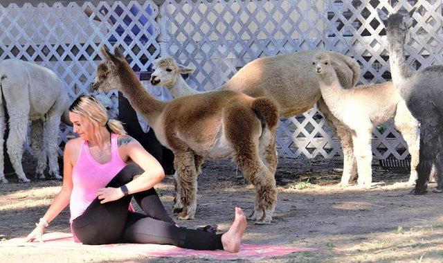 Alpaca Yoga offers unique way to stretch it out