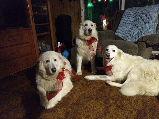Snowy, Sassie & Bella, Christmas 2017