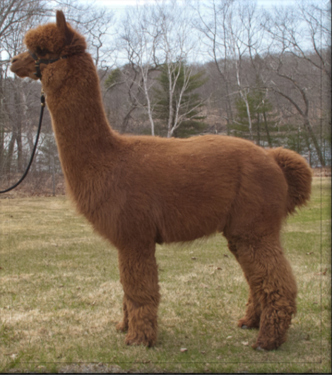 Alpacas For Sale Snowmass Xxxtremely Golden Huacaya Male Proven Connecticut Thompson