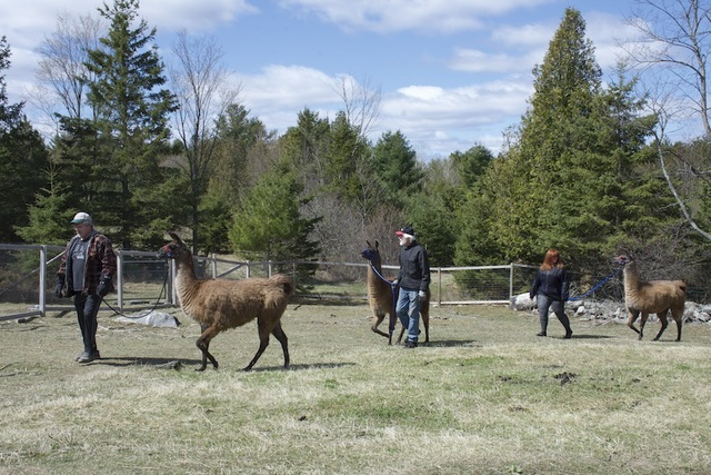 Mother's Day 2020 Family Llama Walk!