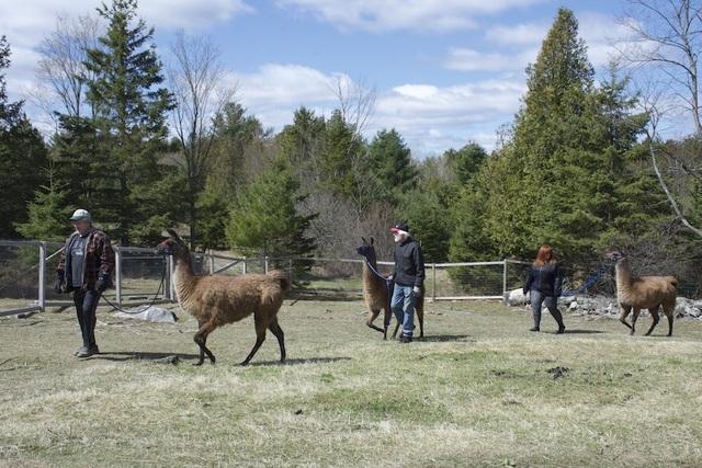 Mother's Day 2020 Family Llama Walk!