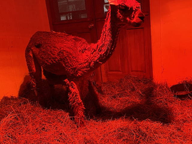 Here's Kristianna and AWH Hurry Sundown by Max under the heat lamp for the night.