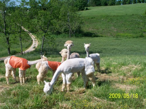 Happy hummers alpaca farm is an alpaca farm located in for Ferdinand indiana craft show