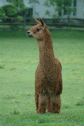Openherd Mt Tabor Alpaca Farm Is An Alpaca Farm Located