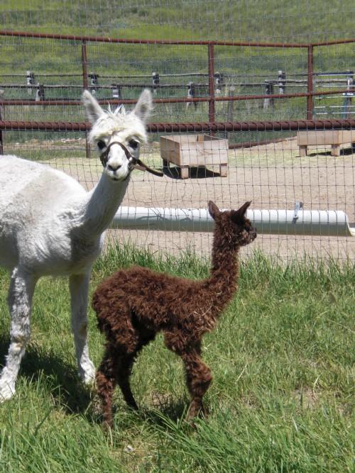 Alpacas For Sale Fox Run S Divinity Suri Female Proven