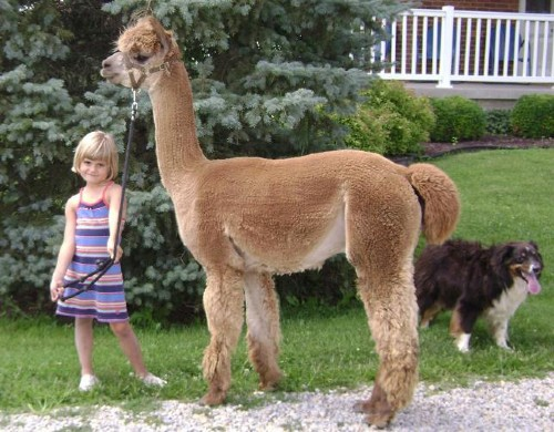 Woodsview alpaca farm is an alpaca farm located in for Alpaca view farm cuisine bangkok
