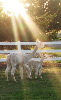 Ray of Sunshine Alpacas - Logo