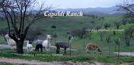 Capaldi Ranch - Logo