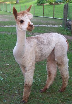 Alpacas For Sale Bentwood S Kahlua Amp Cream Huacaya