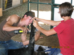 Photo of High Country Alpaca Shearing
