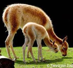 Alpaca Vs Llama Difference