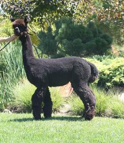 Ranch and Alpaca Photography