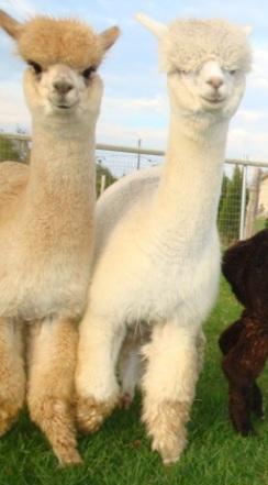 Top Quality Huacaya and Suri Alpacas