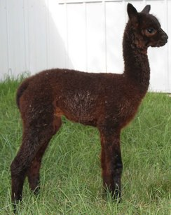 Patagonia planned breeding - Doubled Danko 532 - all around excellence.