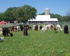 Alpaca Boarding / Agisting