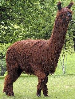 Example of suri alpaca, Fiorano