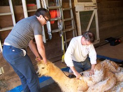 Photo of OA2 Alpaca Shearing