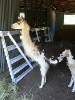 Guido the Guard llama