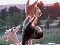 Goldyn Rae Alpacas - Logo