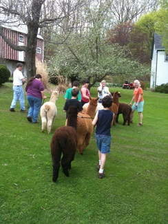 hiking with the alpacas
