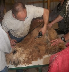 Photo of Shearing