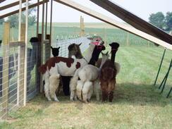 2004 in the beginning ...Huacaya Alpacas For Sale
