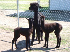 Cria from black dams