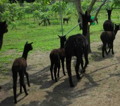 A long line of black alpacas