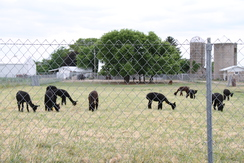Black herd produces black