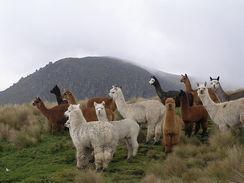 Alpacas in Ecuador. [Philip Lavoie]