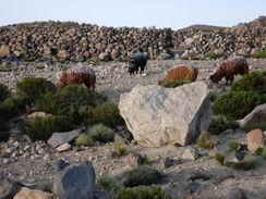 Alpaca scene in Chile. [Wikipedia]