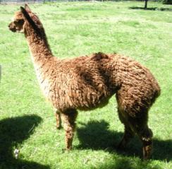 alpaca package for sale