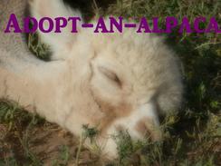Adopt-an-Alpaca