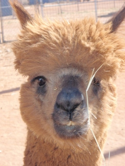 Photo of Adopt-a-Paca - PJ
