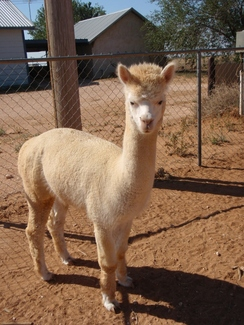 Photo of Adopt-A-Paca - Dash