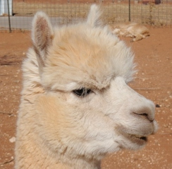 Photo of Adopt-A-Paca – Braveheart