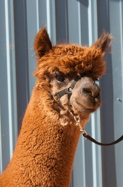 Photo of Adopt-A-Paca – Contesa