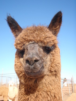 Photo of Adopt-A-Paca – Tikki